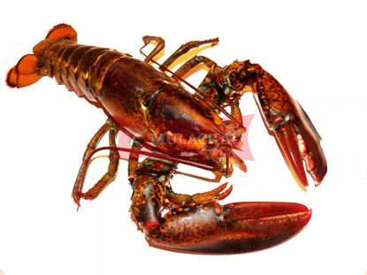 Lobster 1kg