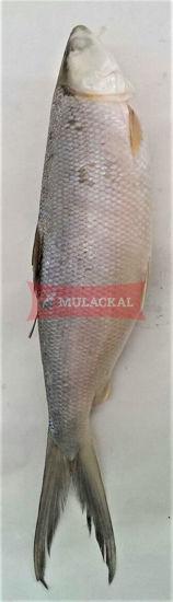 MULACKAL Milkfish 300/500 10kg